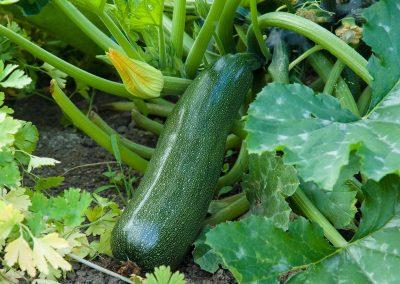 Courgette / Zucchini