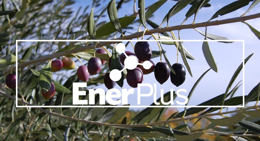 EnerPlus® en olivar, mayor rendimiento y precocidad de cosecha