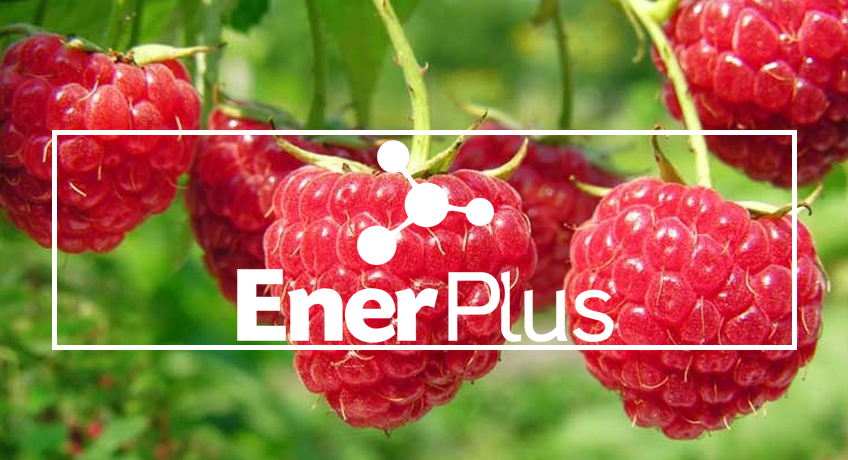 EnerPlus®: life for the ground, optimized nutrition in raspberry