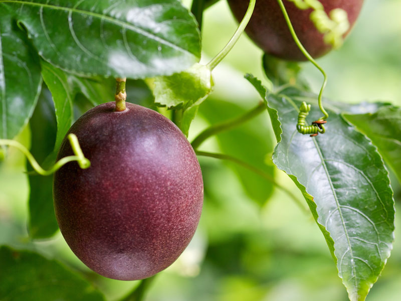 Maracuyá / Fruta de la pasión