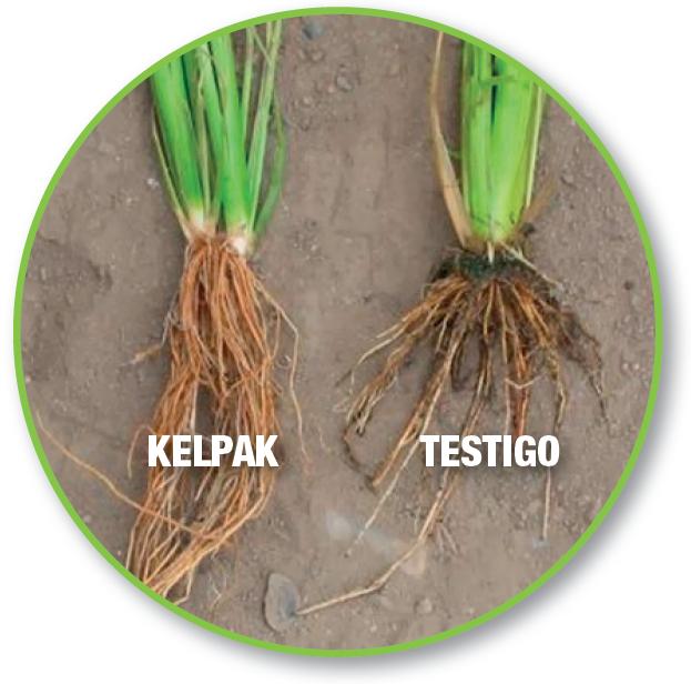 KELPAK®, un bioestimulante natural para el arroz